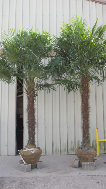 Palm tree 11 ft to 15 ft tall palm trees for sale 631 714 7256