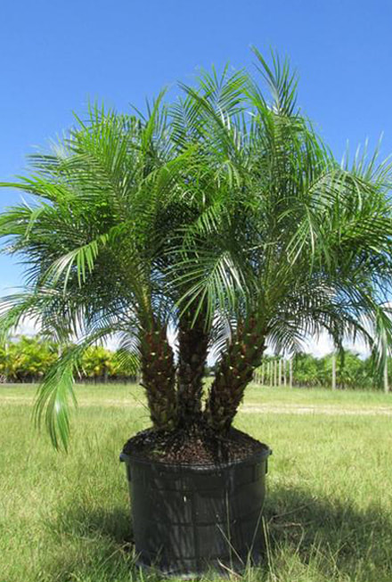 ip-robellini_orig Palm Tree Types Of Houseplants on types of indoor palms, types of bamboo houseplants, common palm houseplants, types of trees in florida, types of lily houseplants,